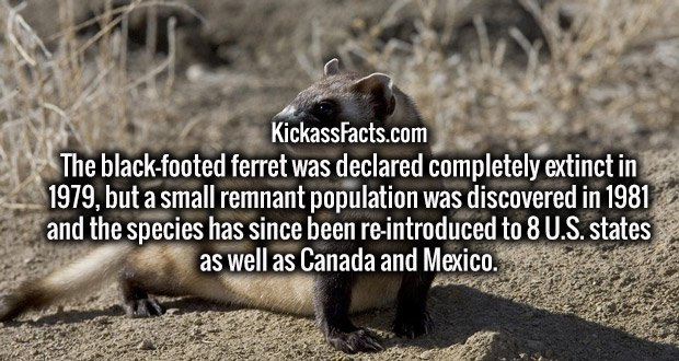 The black-footed ferret was declared completely extinct in 1979, but a small remnant population was discovered in 1981 and the species has since been re-introduced to 8 U.S. states as well as Canada and Mexico.