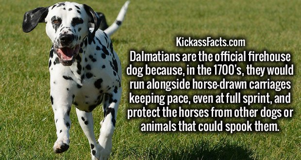 Dalmatians are the official firehouse dog because, in the 1700's, they would run alongside horse-drawn carriages keeping pace, even at full sprint, and protect the horses from other dogs or animals that could spook them.