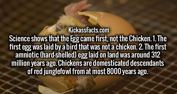 Science shows that the Egg came first, not the Chicken. 1. The first egg was laid by a bird that was not a chicken. 2. The first amniotic (hard-shelled) egg laid on land was around 312 million years ago. Chickens are domesticated descendants of red junglefowl from at most 8000 years ago.