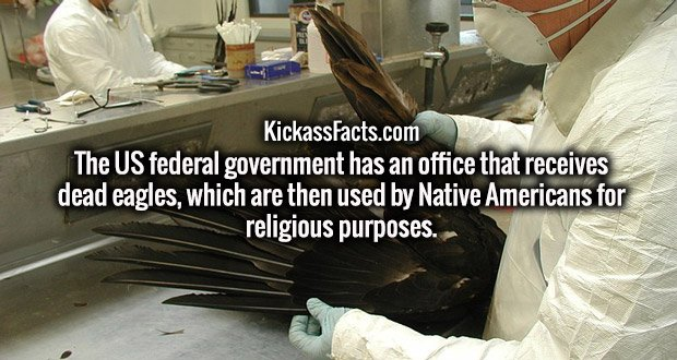 The US federal government has an office that receives dead eagles, which are then used by Native Americans for religious purposes.