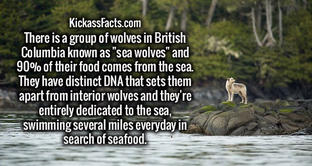 "There is a group of wolves in British Columbia known as ""sea wolves"" and 90% of their food comes from the sea. They have distinct DNA that sets them apart from interior wolves and they're entirely dedicated to the sea, swimming several miles everyday in search of seafood."