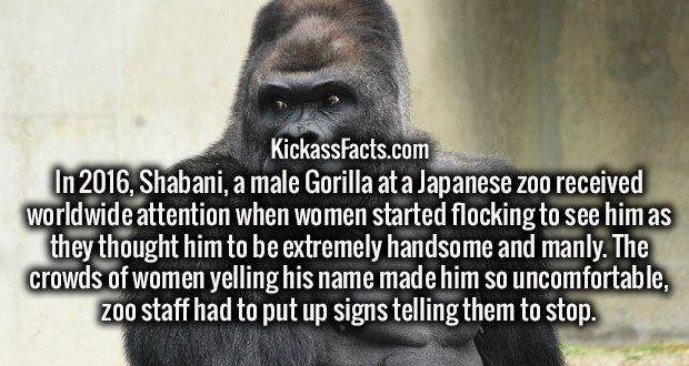 In 2016, Shabani, a male Gorilla at a Japanese zoo received worldwide attention when women started flocking to see him as they thought him to be extremely handsome and manly. The crowds of women yelling his name made him so uncomfortable, zoo staff had to put up signs telling them to stop.