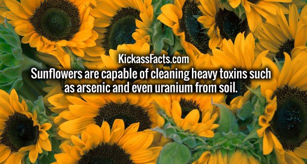 Sunflowers are capable of cleaning heavy toxins such as arsenic and even uranium from soil.