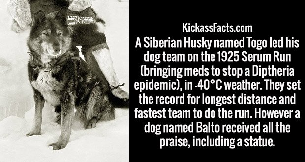 A Siberian Husky named Togo led his dog team on the 1925 Serum Run (bringing meds to stop a Diptheria epidemic), in -40°C weather. They set the record for longest distance and fastest team to do the run. However a dog named Balto received all the praise, including a statue.