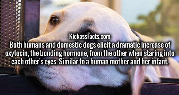 Both humans and domestic dogs elicit a dramatic increase of oxytocin, the bonding hormone, from the other when staring into each other's eyes. Similar to a human mother and her infant.