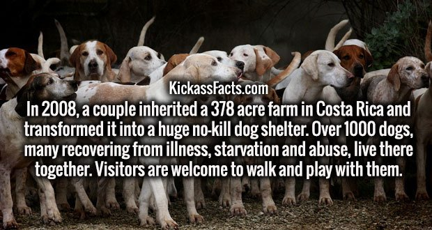 In 2008, a couple inherited a 378 acre farm in Costa Rica and transformed it into a huge no-kill dog shelter. Over 1000 dogs, many recovering from illness, starvation and abuse, live there together. Visitors are welcome to walk and play with them.