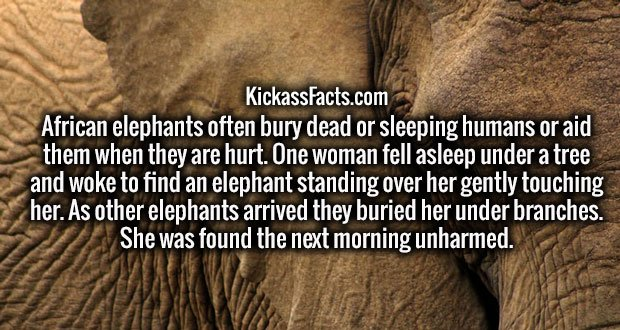 African elephants often bury dead or sleeping humans or aid them when they are hurt. One woman fell asleep under a tree and woke to find an elephant standing over her gently touching her. As other elephants arrived they buried her under branches. She was found the next morning unharmed.