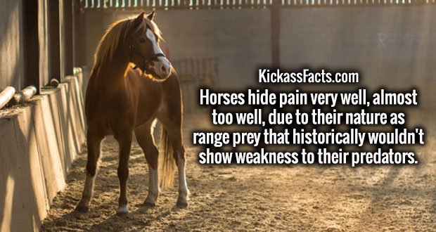 Horses hide pain very well, almost too well, due to their nature as range prey that historically wouldn't show weakness to their predators.