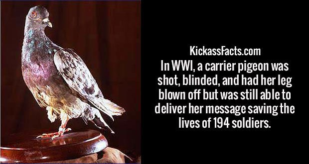 In WWI, a carrier pigeon was shot, blinded, and had her leg blown off but was still able to deliver her message saving the lives of 194 soldiers.