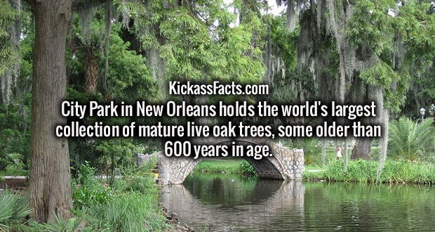 City Park in New Orleans holds the world's largest collection of mature live oak trees, some older than 600 years in age.