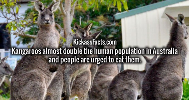 Kangaroos almost double the human population in Australia and people are urged to eat them.