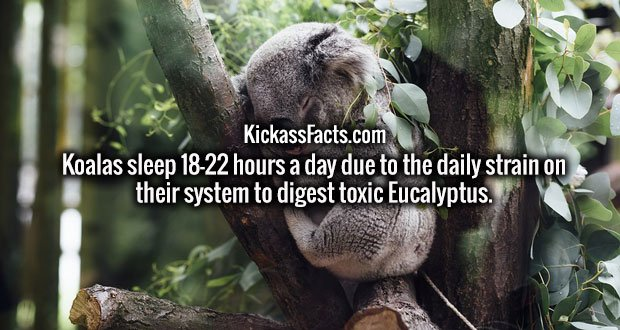 Koalas sleep 18-22 hours a day due to the daily strain on their system to digest toxic Eucalyptus.