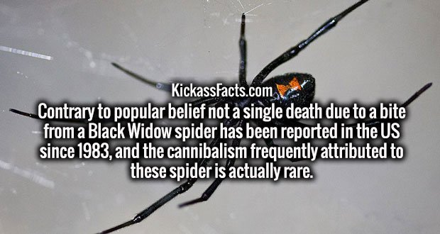 Contrary to popular belief not a single death due to a bite from a Black Widow spider has been reported in the US since 1983, and the cannibalism frequently attributed to these spider is actually rare.