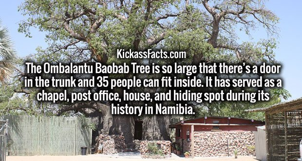 The Ombalantu Baobab Tree is so large that there's a door in the trunk and 35 people can fit inside. It has served as a chapel, post office, house, and hiding spot during its history in Namibia.