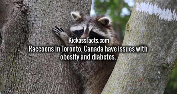 Raccoons in Toronto, Canada have issues with obesity and diabetes.