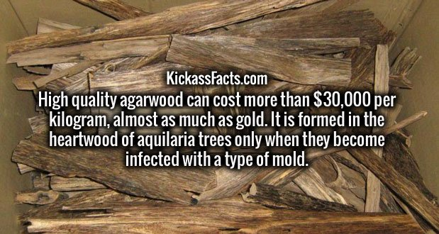 High quality agarwood can cost more than $30,000 per kilogram, almost as much as gold. It is formed in the heartwood of aquilaria trees only when they become infected with a type of mold.