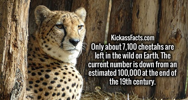 Only about 7,100 cheetahs are left in the wild on Earth. The current number is down from an estimated 100,000 at the end of the 19th century.