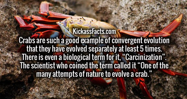 """Crabs are such a good example of convergent evolution that they have evolved separately at least 5 times. There is even a biological term for it, """"Carcinization"""". The scientist who coined the term called it """"One of the many attempts of nature to evolve a crab."""""""
