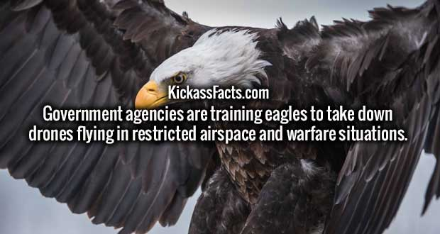 Government agencies are training eagles to take down drones flying in restricted airspace and warfare situations.
