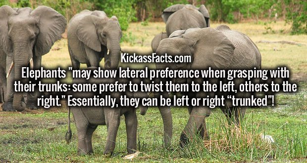 """Elephants """"may show lateral preference when grasping with their trunks: some prefer to twist them to the left, others to the right."""" Essentially, they can be left or right """"trunked""""!"""