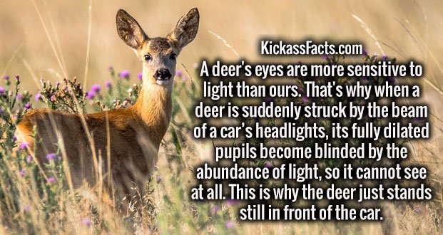 A deer's eyes are more sensitive to light than ours. That's why when a deer is suddenly struck by the beam of a car's headlights, its fully dilated pupils become blinded by the abundance of light, so it cannot see at all. This is why the deer just stands still in front of the car.