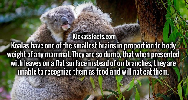 Koalas have one of the smallest brains in proportion to body weight of any mammal. They are so dumb, that when presented with leaves on a flat surface instead of on branches, they are unable to recognize them as food and will not eat them.