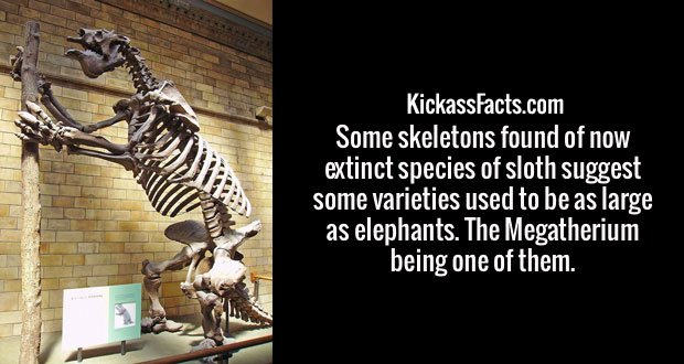 Some skeletons found of now extinct species of sloth suggest some varieties used to be as large as elephants. The Megatherium being one of them.