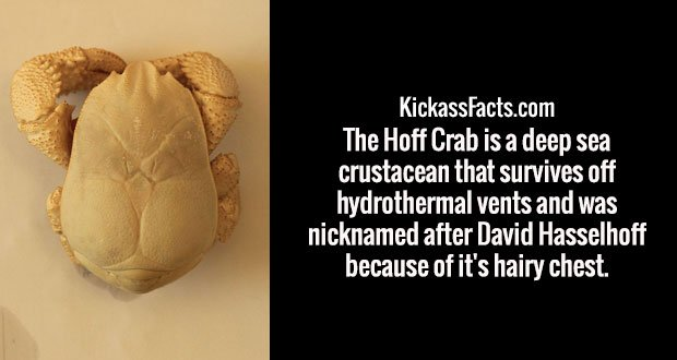 The Hoff Crab is a deep sea crustacean that survives off hydrothermal vents and was nicknamed after David Hasselhoff because of it's hairy chest.