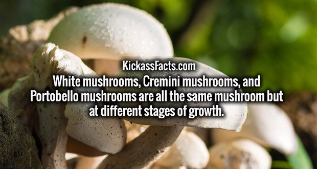 White mushrooms, Cremini mushrooms, and Portobello mushrooms are all the same mushroom but at different stages of growth.