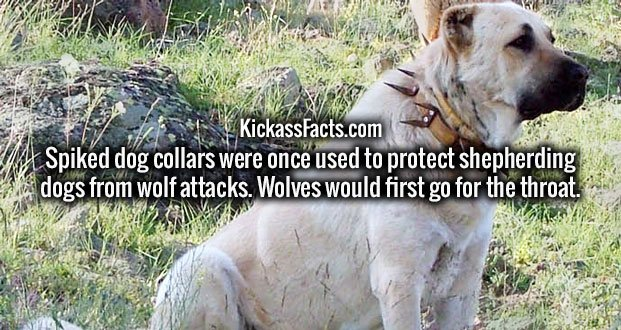 Spiked dog collars were once used to protect shepherding dogs from wolf attacks. Wolves would first go for the throat.