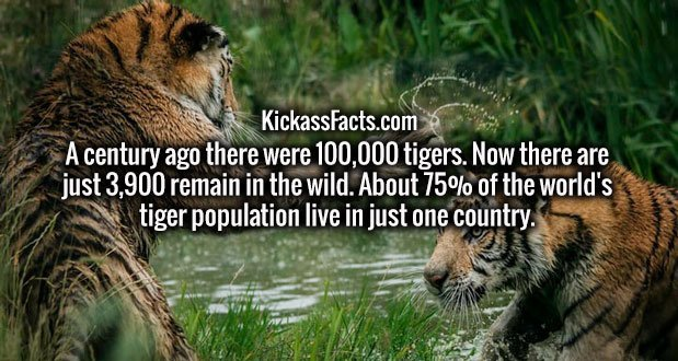 A century ago there were 100,000 tigers. Now there are just 3,900 remain in the wild. About 75% of the world's tiger population live in just one country.