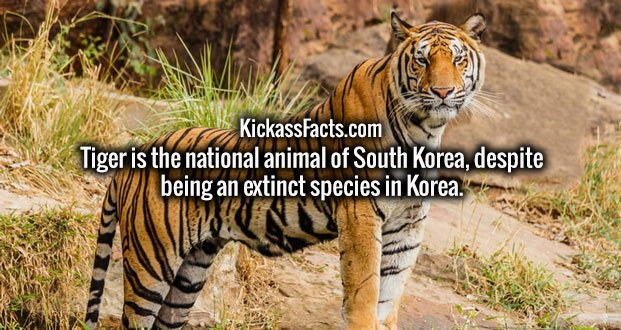 Tiger is the national animal of South Korea, despite being an extinct species in Korea.