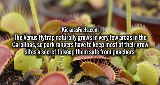 The Venus flytrap naturally grows in very few areas in the Carolinas, so park rangers have to keep most of their grow sites a secret to keep them safe from poachers.