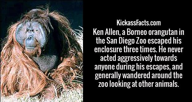 Ken Allen, a Borneo orangutan in the San Diego Zoo escaped his enclosure three times. He never acted aggressively towards anyone during his escapes, and generally wandered around the zoo looking at other animals.