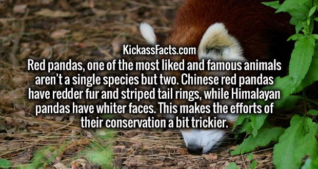 Red pandas, one of the most liked and famous animals aren't a single species but two. Chinese red pandas have redder fur and striped tail rings, while Himalayan pandas have whiter faces. This makes the efforts of their conservation a bit trickier.