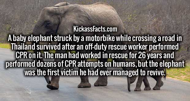 A baby elephant struck by a motorbike while crossing a road in Thailand survived after an off-duty rescue worker performed CPR on it. The man had worked in rescue for 26 years and performed dozens of CPR attempts on humans, but the elephant was the first victim he had ever managed to revive.