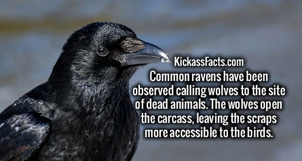 Common ravens have been observed calling wolves to the site of dead animals. The wolves open the carcass, leaving the scraps more accessible to the birds.