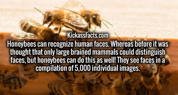 Honeybees can recognize human faces. Whereas before it was thought that only large brained mammals could distinguish faces, but honeybees can do this as well! They see faces in a compilation of 5,000 individual images.