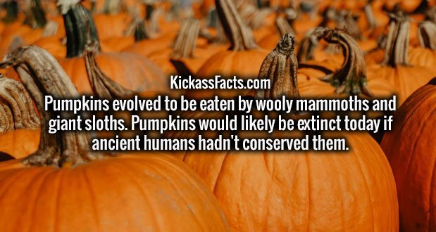 Pumpkins evolved to be eaten by wooly mammoths and giant sloths. Pumpkins would likely be extinct today if ancient humans hadn't conserved them.