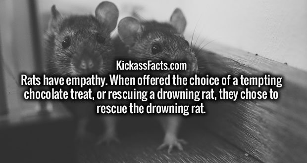 Rats have empathy. When offered the choice of a tempting chocolate treat, or rescuing a drowning rat, they chose to rescue the drowning rat.