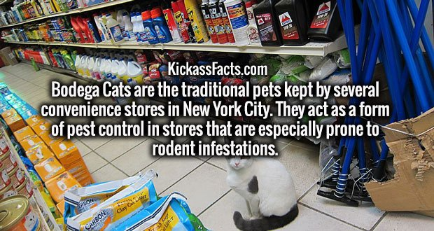 Bodega Cats are the traditional pets kept by several convenience stores in New York City. They act as a form of pest control in stores that are especially prone to rodent infestations.