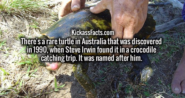 There's a rare turtle in Australia that was discovered in 1990, when Steve Irwin found it in a crocodile catching trip. It was named after him.
