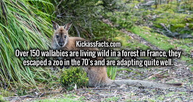 Over 150 wallabies are living wild in a forest in France, they escaped a zoo in the 70's and are adapting quite well.