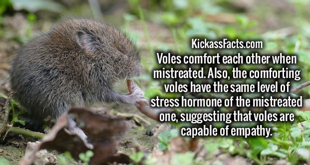 Voles comfort each other when mistreated. Also, the comforting voles have the same level of stress hormone of the mistreated one, suggesting that voles are capable of empathy.