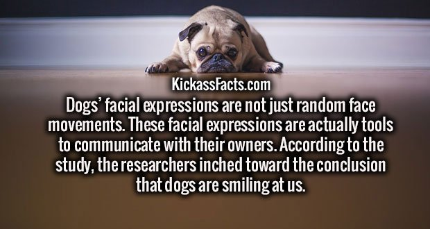 Dogs' facial expressions are not just random face movements. These facial expressions are actually tools to communicate with their owners. According to the study, the researchers inched toward the conclusion that dogs are smiling at us.