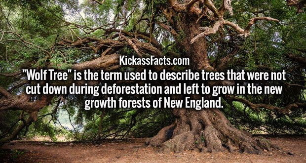 """Wolf Tree"" is the term used to describe trees that were not cut down during deforestation and left to grow in the new growth forests of New England."