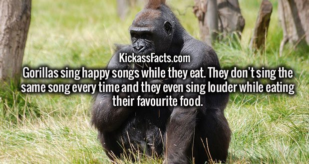 Gorillas sing happy songs while they eat. They don't sing the same song every time and they even sing louder while eating their favourite food.