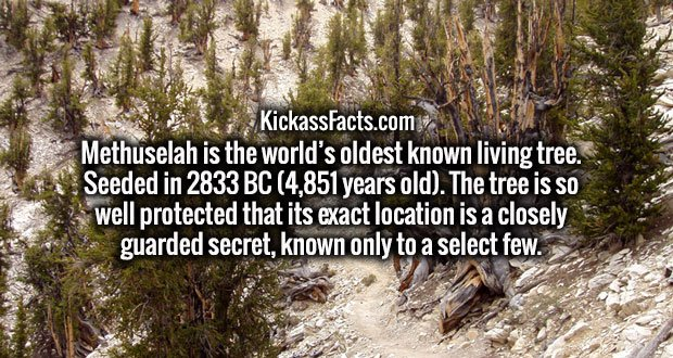 Methuselah is the world's oldest known living tree. Seeded in 2833 BC (4,851 years old). The tree is so well protected that its exact location is a closely guarded secret, known only to a select few.