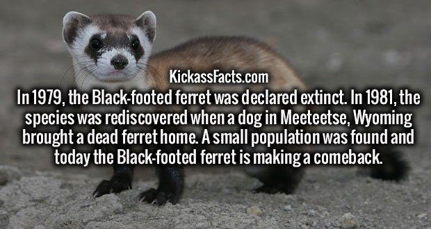 In 1979, the Black-footed ferret was declared extinct. In 1981, the species was rediscovered when a dog in Meeteetse, Wyoming brought a dead ferret home. A small population was found and today the Black-footed ferret is making a comeback.