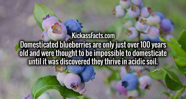 Domesticated blueberries are only just over 100 years old and were thought to be impossible to domesticate until it was discovered they thrive in acidic soil.
